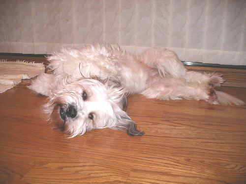 tinsel the tibetan terrier a little background about myself. Black Bedroom Furniture Sets. Home Design Ideas