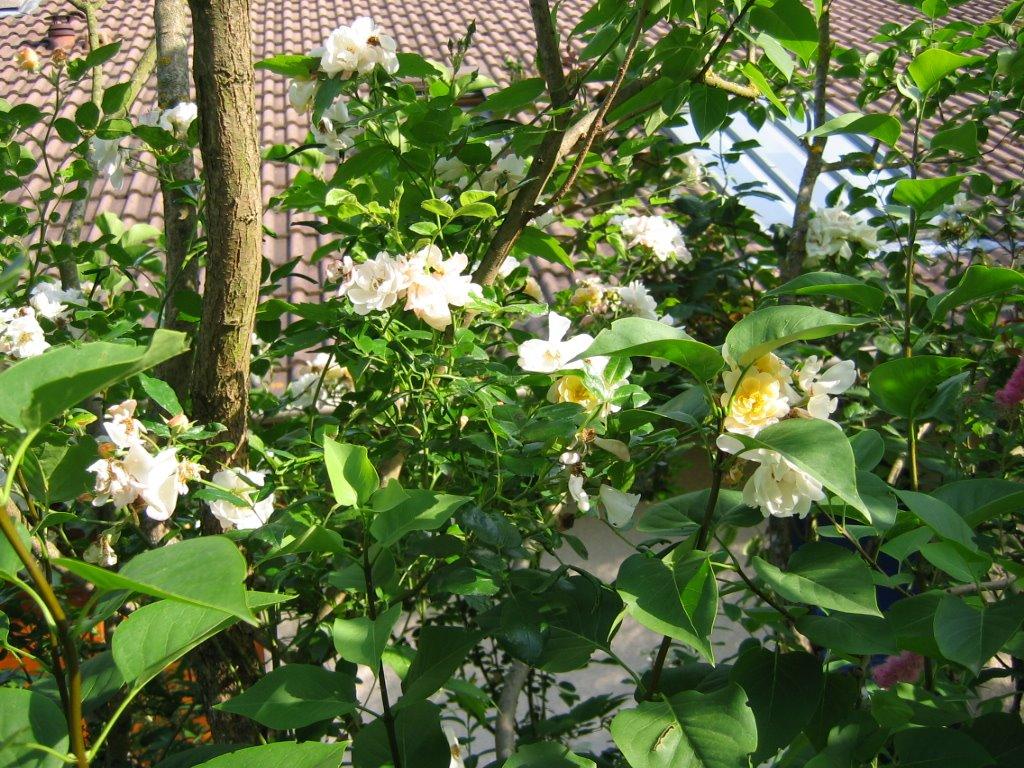 Jardin de marguerite le lilas fleur de rose - Quand tailler les lilas ...