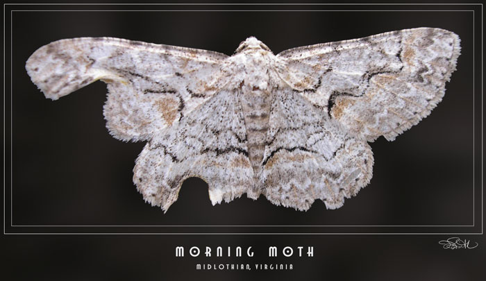 Morning Moth