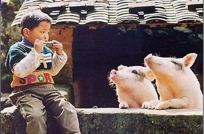 Piglets in harmony