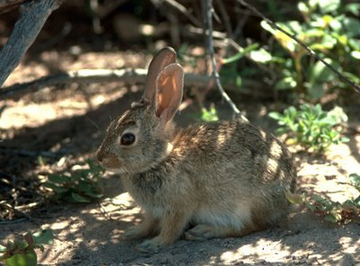 Desert Cottontail Rabbit - public domain jpg