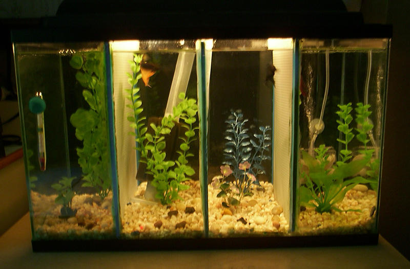 Emg 39 s aquarium page 10 gallon divided betta tank for Divided fish tank