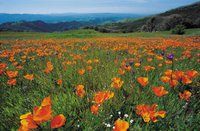 California Poppies © 2006 Microsoft Corporation. All rights reserved.