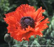 Turkish Delight Poppy