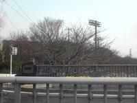 可和名橋から見た山崎川の桜