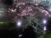 五条川の千本桜