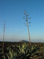 Flowering agave in Lanzarote. Copyright: WebWeaver Productions