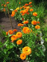 Self-seeded marigolds in the veggie garden