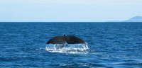 Whale near Kaikoura, New Zealand - photo credit WebWeaver Productions