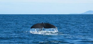 Whale disappearing beneath the surface off the coast of kaikoura, New Zealand. Copyright: WebWeaver Productions