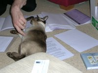 Siamese cat rolling about on paper, getting in the way
