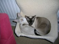 photo' of two siamese cats snuggled up together in a radiator hammock