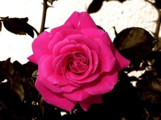 Una rosa en un rosal gasta mucha fantasía
