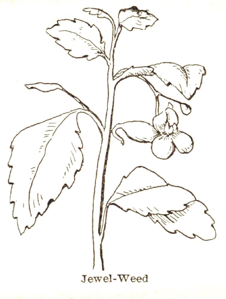 Coloring Page for Jewelweed | The Common Room