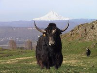 nice furry yak