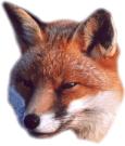Fox (Mulder)
