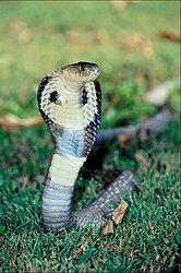 I'm a Siamese Cobra