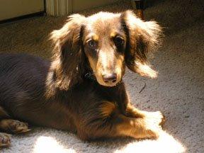 hershey the doglet