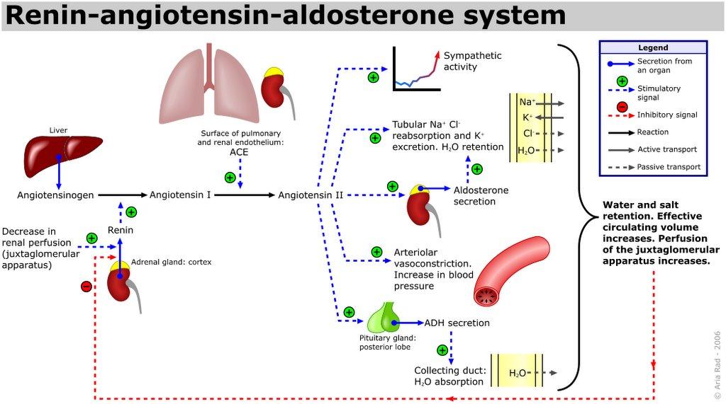 Renin Angiotensin Aldosterone System Car Interior Design