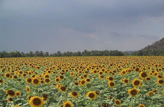 حقل زهور عباد شمس