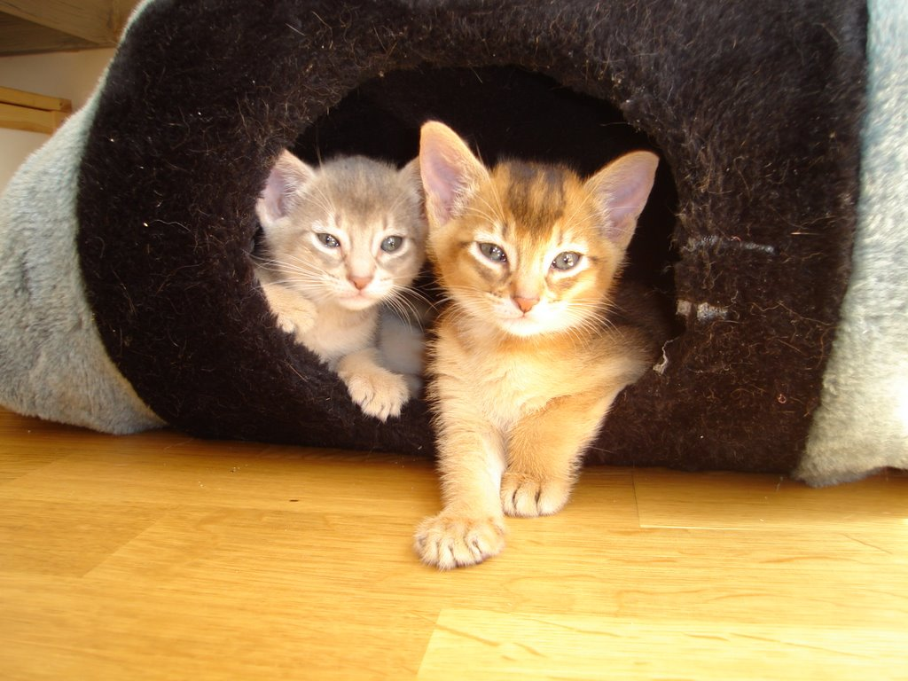 sulikit abyssinians Usual Abyssinian Kittens