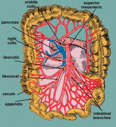 Aparelho Circulatrio Aula 2 Artria