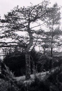 arno tree
