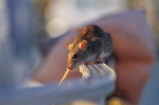 Rats  Endangering human health