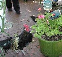 Rooster in San Juan Bautista restaurant