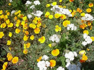 Flowers in bloom at Elkhorn Slough