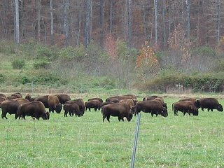 bison at Land Between the Lakes