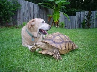 In this photo released by Kellie Copeland-Burnup via the Post and Courier, Willy, a tortoise, belonging to Kellie, walks past the family dog Sunday, Aug. 21, 2006, in Ridgeville, S.C. After a month on the lam, the 40-pound tortoise with a 2-foot-wide, gold-colored shell is back in the wading pool at his owner's home. Kellie reported the tortoise escaped about July 1. A local emergency medical services technician spotted Willy on Sunday along a rural road about five miles away. During six weeks on the run, Willy averaged .005 mph, well short of a new land speed record. (AP Photo/Kellie Copeland-Burnup via the Post and Courier)