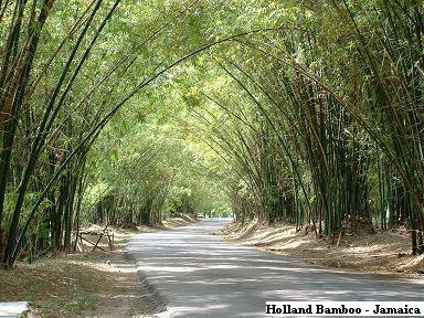 Holland Bamboo - Famous Tourist Attraction - Jamaica, W.I.