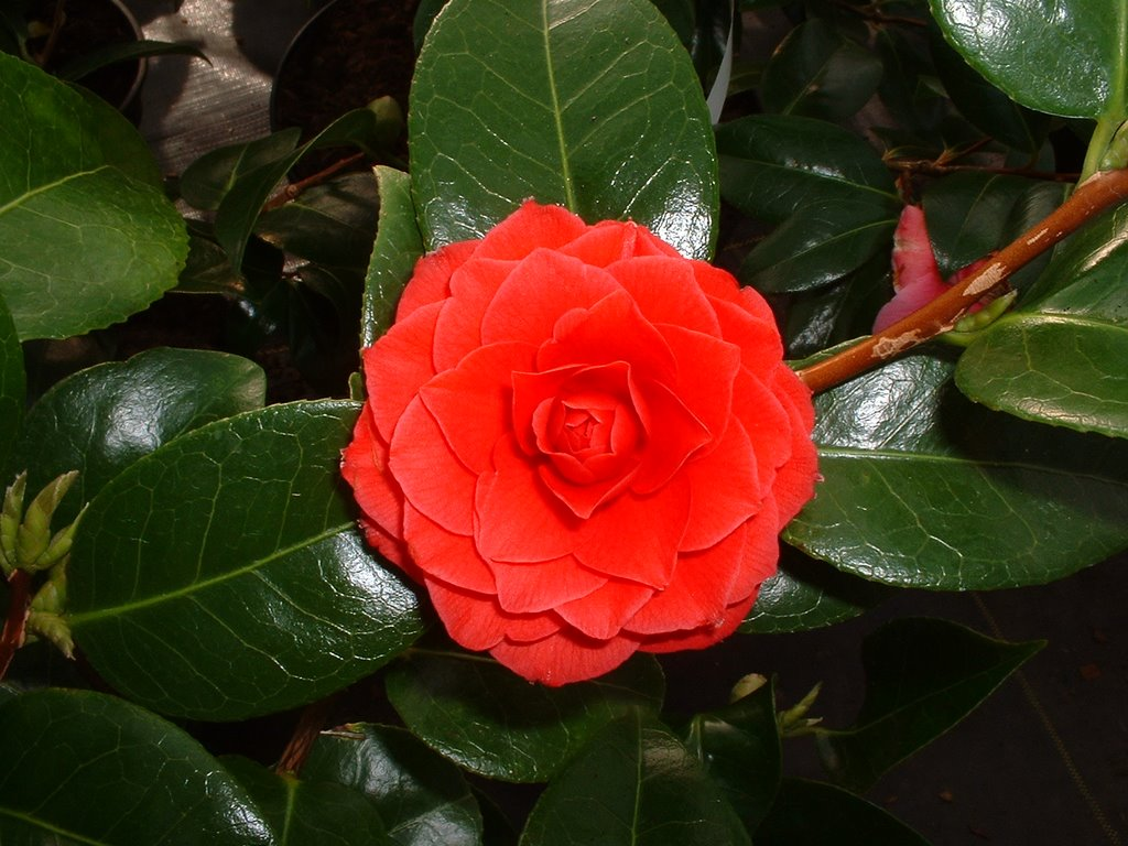 peaceful garden camellia facts and pictures. Black Bedroom Furniture Sets. Home Design Ideas