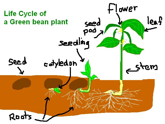 PeaceFul Garden: Life Cycle of Plant