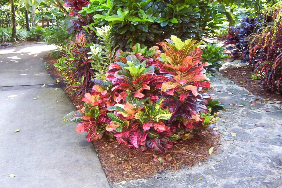 Peaceful garden croton care for Croton plant