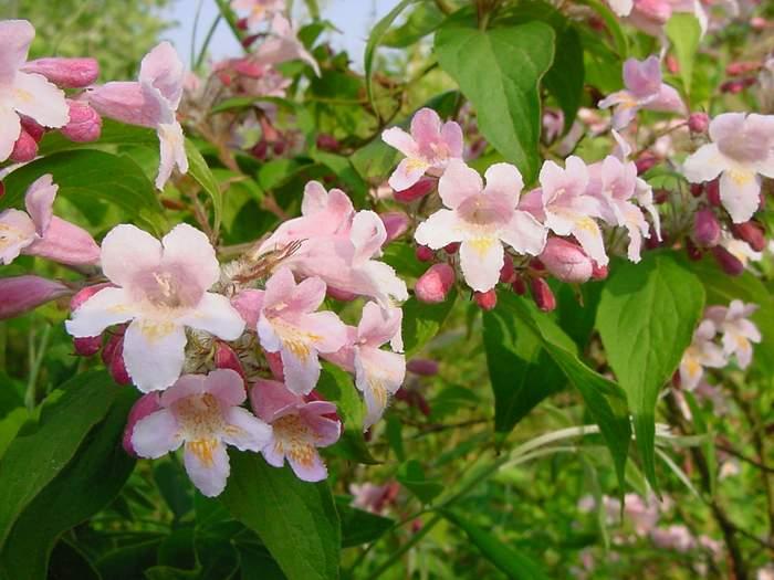 Peaceful garden shrubs for summer colour shrubs for summer colour mightylinksfo