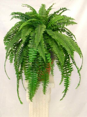 Peaceful garden facts and pictures of boston fern for Non toxic ferns