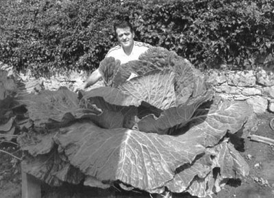 World's Largest Cabbage
