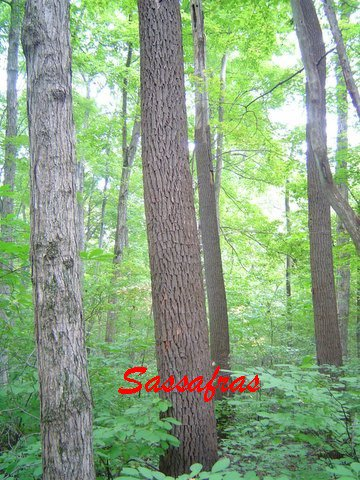How do you identify sassafras trees?
