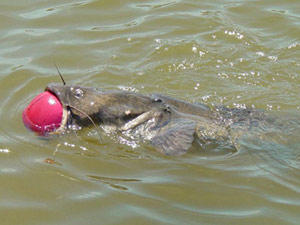 catfish trying to eat a basketball