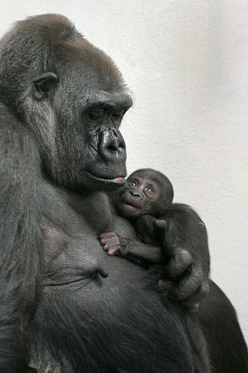 Primates King Kong