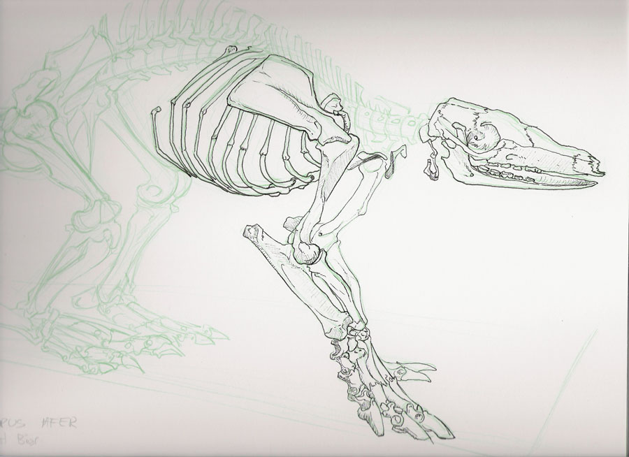Aardvark skeleton - photo#13