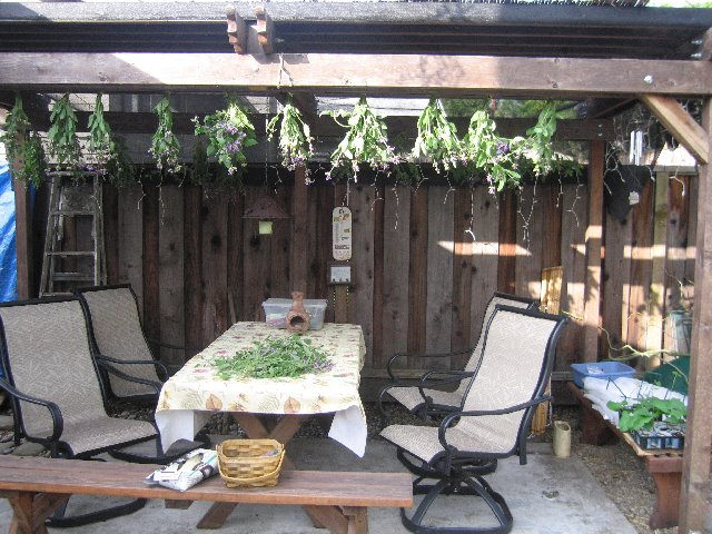 Another great place to dry your herbs is to set up your screened in tent that your normally only use around a picnic table when out c&ing. & Uncle Tomu0027s Garden: Sage Harvest