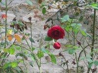 kőfal, rózsa, napnyugta; életlen csendélet