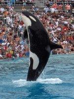 Killer Whale Jump