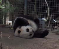 Panda on Back