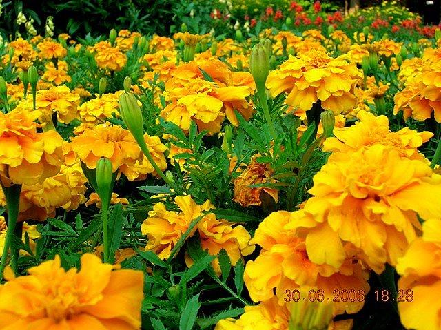 sharan sharma ann arbor summer  more on marigolds, Natural flower