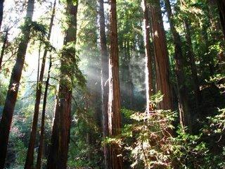 Redwoods i Muir Woods