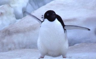 An Angry Little Penguin